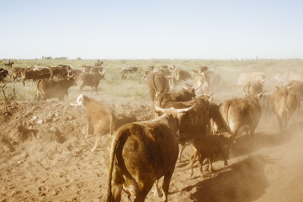 All the cattle have been gathered at the end of the pasture, and now they only have to drive for half a mile before they put them in the pins. This is usually the easy part of the job, unless some of the cattle decide to run off. Not this day, though.