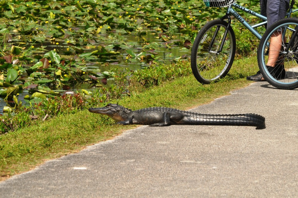 One of the smaller alligators getting some sun. Photo courtesy of nps.gov