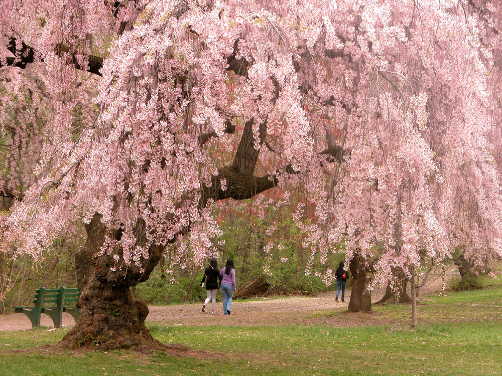 Newark_cherry_blossoms.jpg