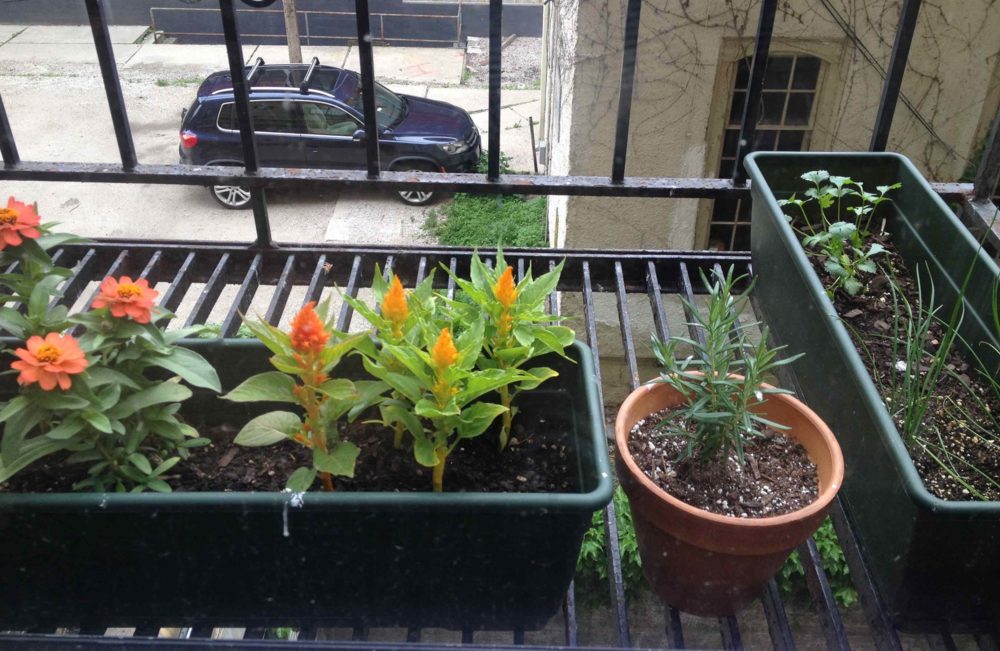 My tiny balcony garden. Currently growing: rosemary, chives, cilantro, flowers, plus basil and tomatoes (not pictured).