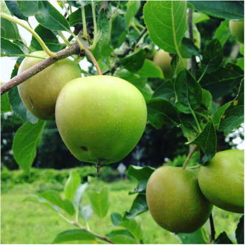 An apple tree in the Tisdale Food Forest