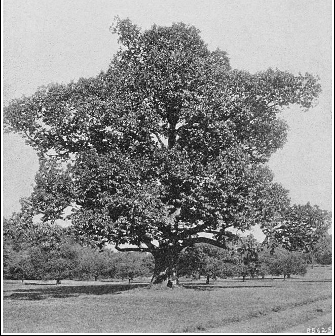 The American Chestnut in its former glory.