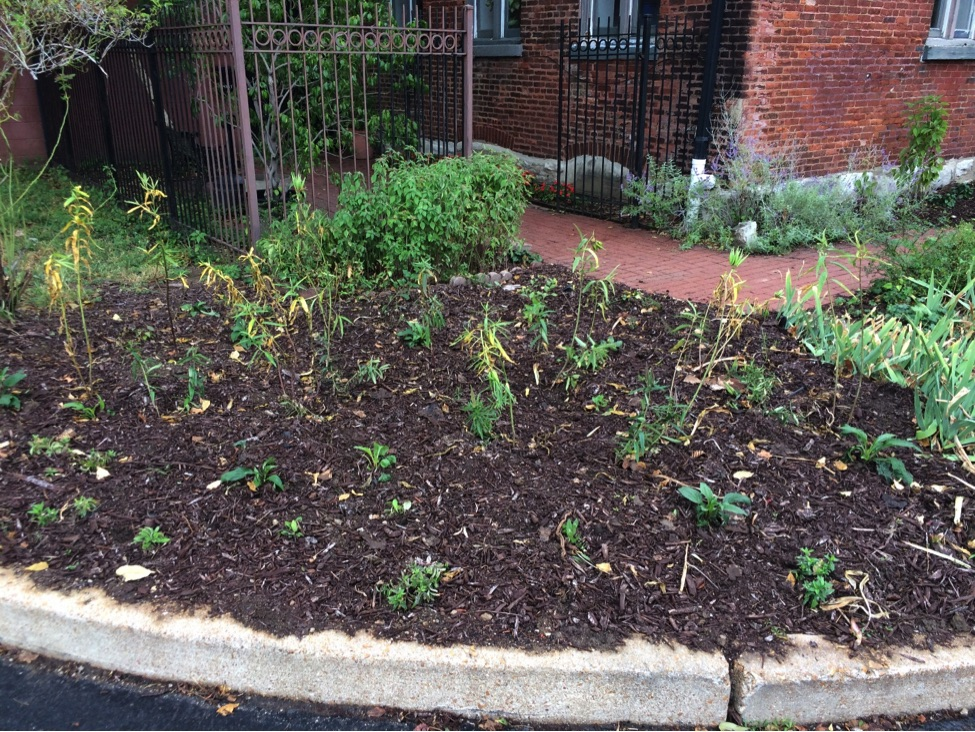 Newly planted butterfly garden at the St. Louis Quaker meeting house. Photo by Fawn Hoener
