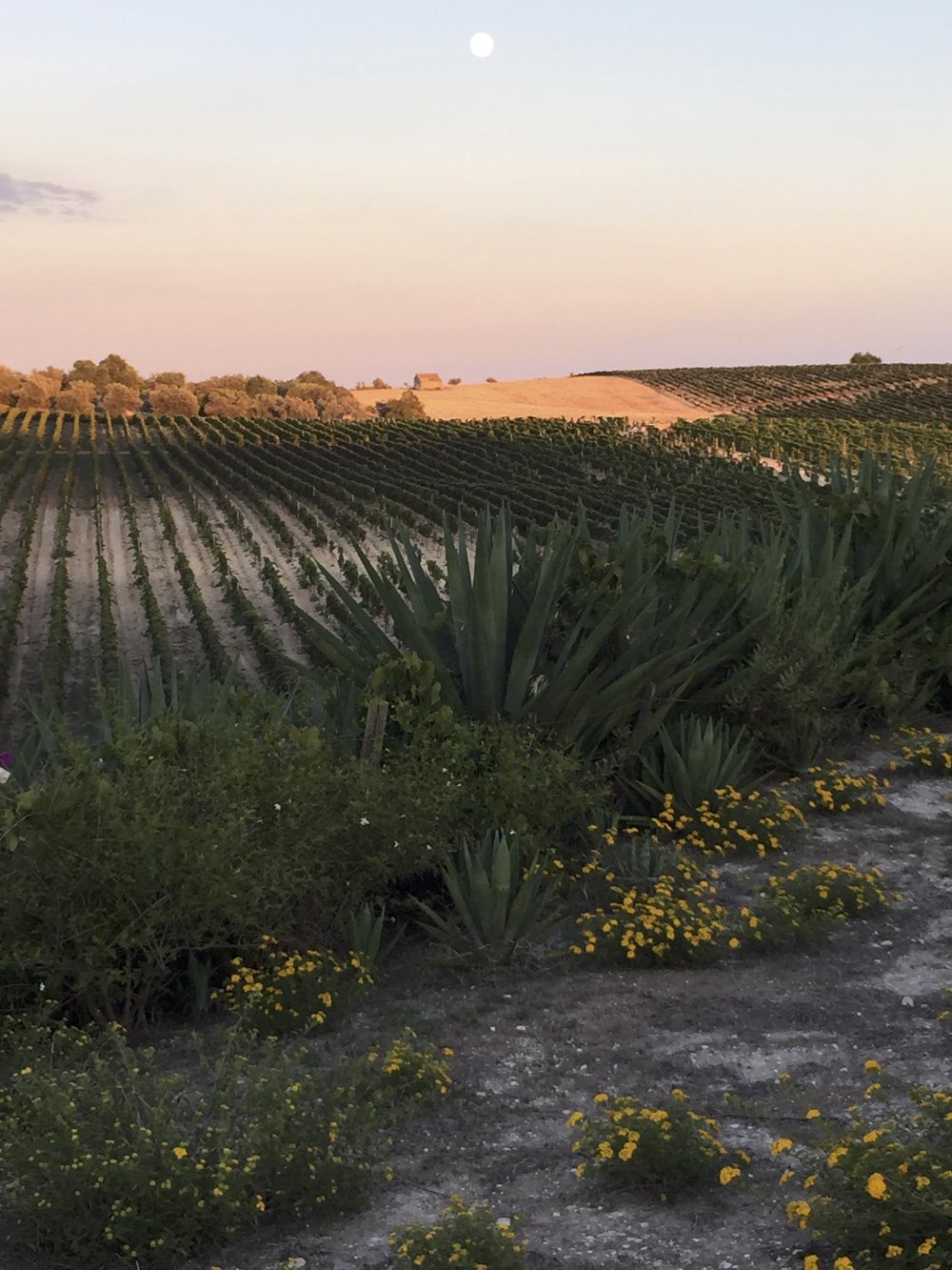 Noto vineyards at dusk