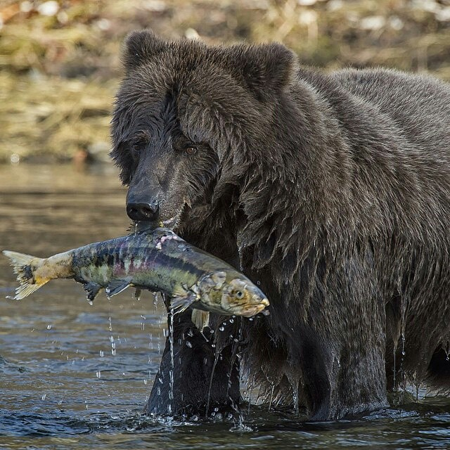 A grizzly bear catches a chum salmon for your dinner at #thesunkenchip #Canada #grizzlybear #regram @natgeocreative Photo by @matherpeter