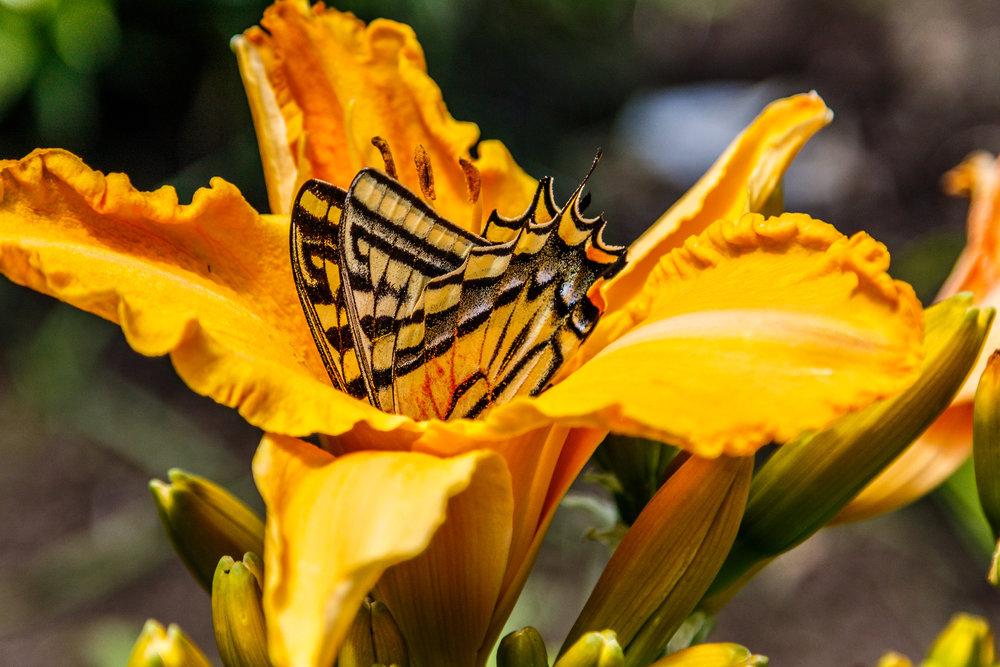 Butterfly In Our Garden-20180706_009.jpg