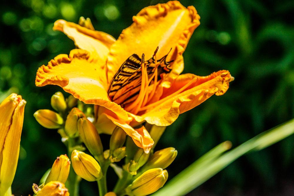 Butterfly In Our Garden-20180706_040.jpg