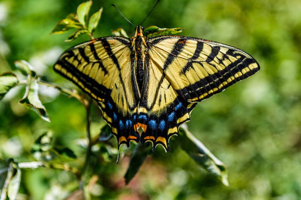Butterfly In Our Garden-20180706_027.jpg