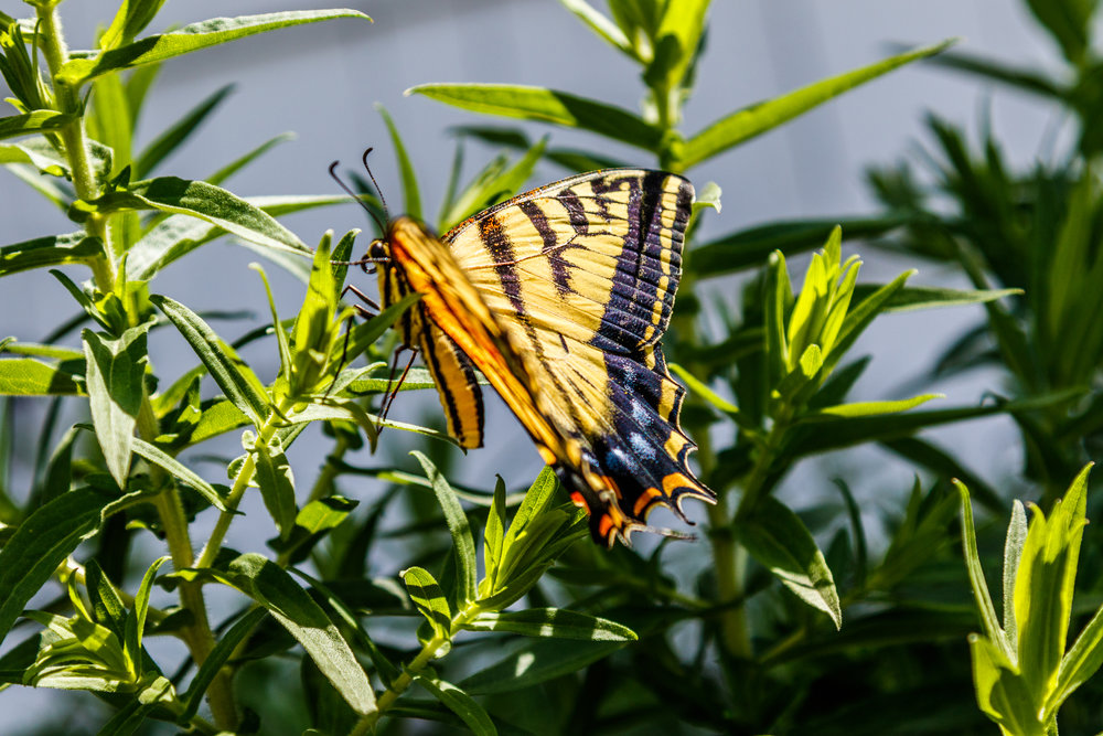 Butterfly In Our Garden-20180706_035.jpg