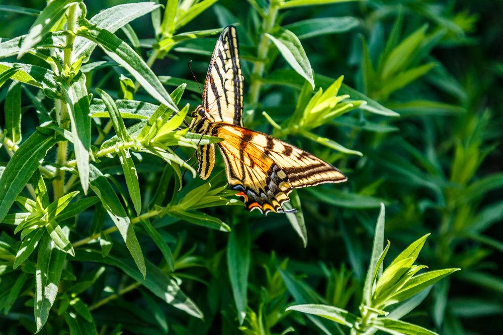 Butterfly In Our Garden-20180706_033.jpg