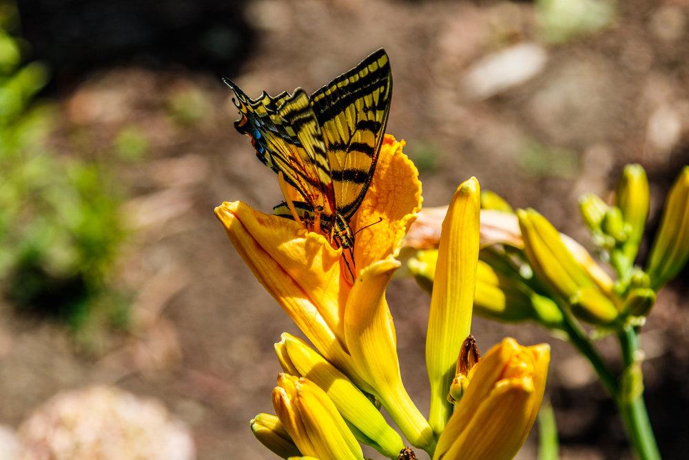 Butterfly In Our Garden-20180706_038.jpg