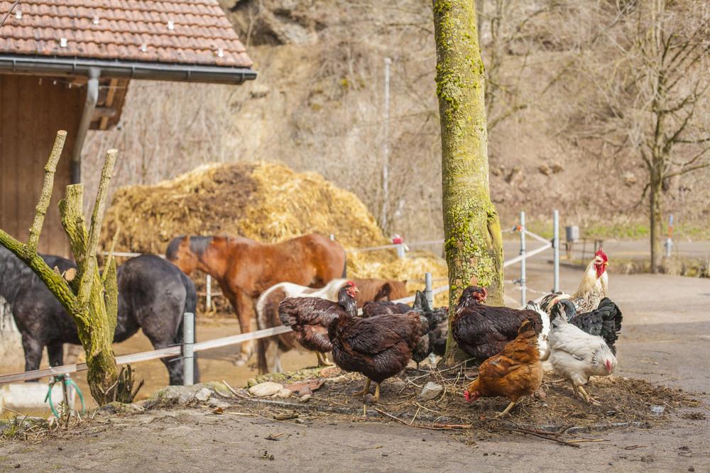 chickens roaming an organic dynamic farm freely