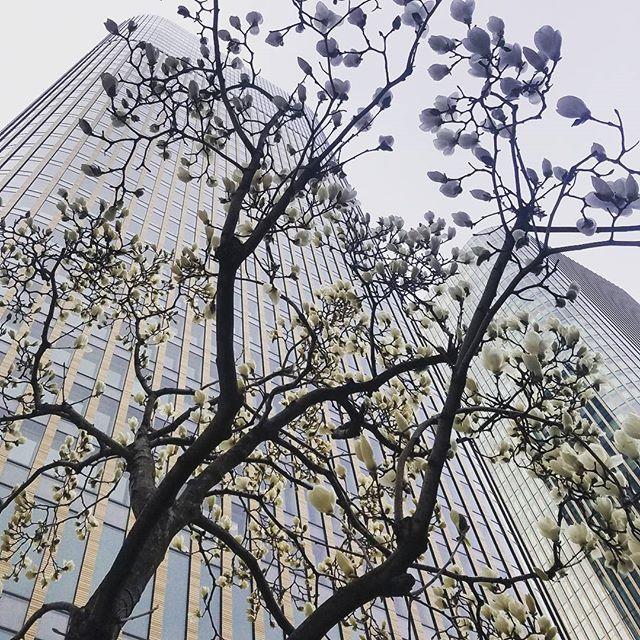 They aren't sakura, but they're still beautiful. Going to miss walking around here. #osaka #japan