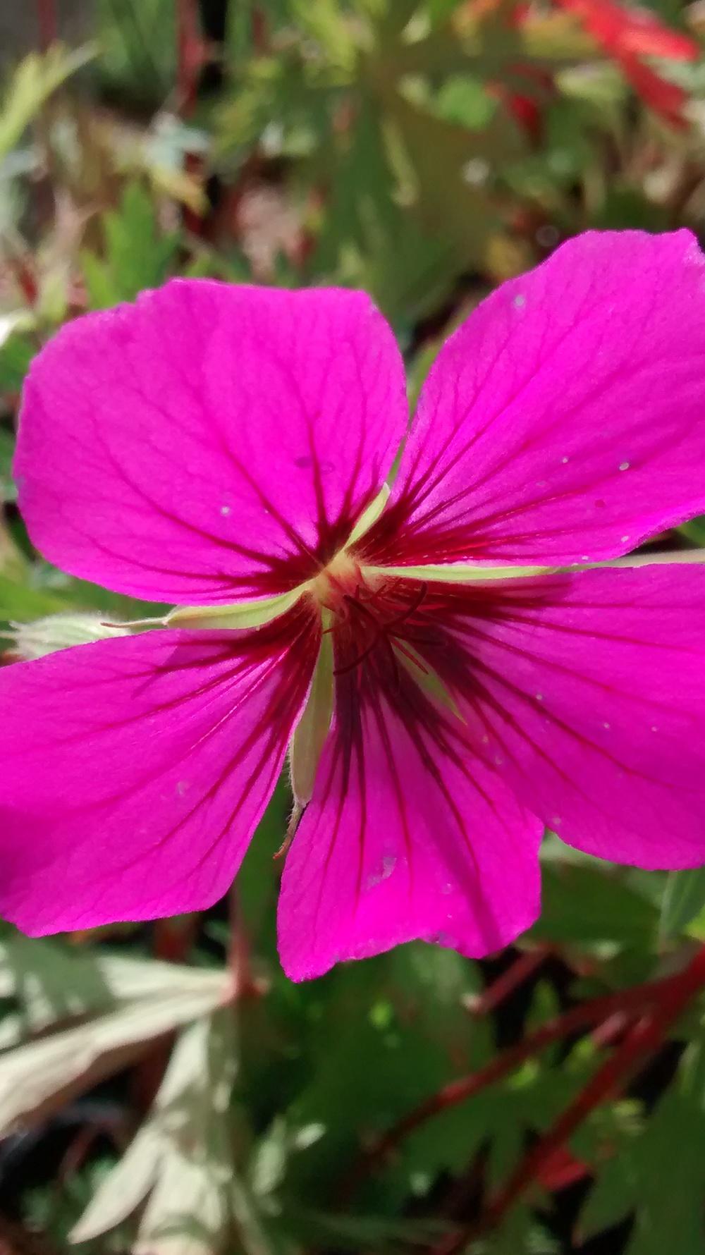 Geranium Patricia ('Brempat') AGM