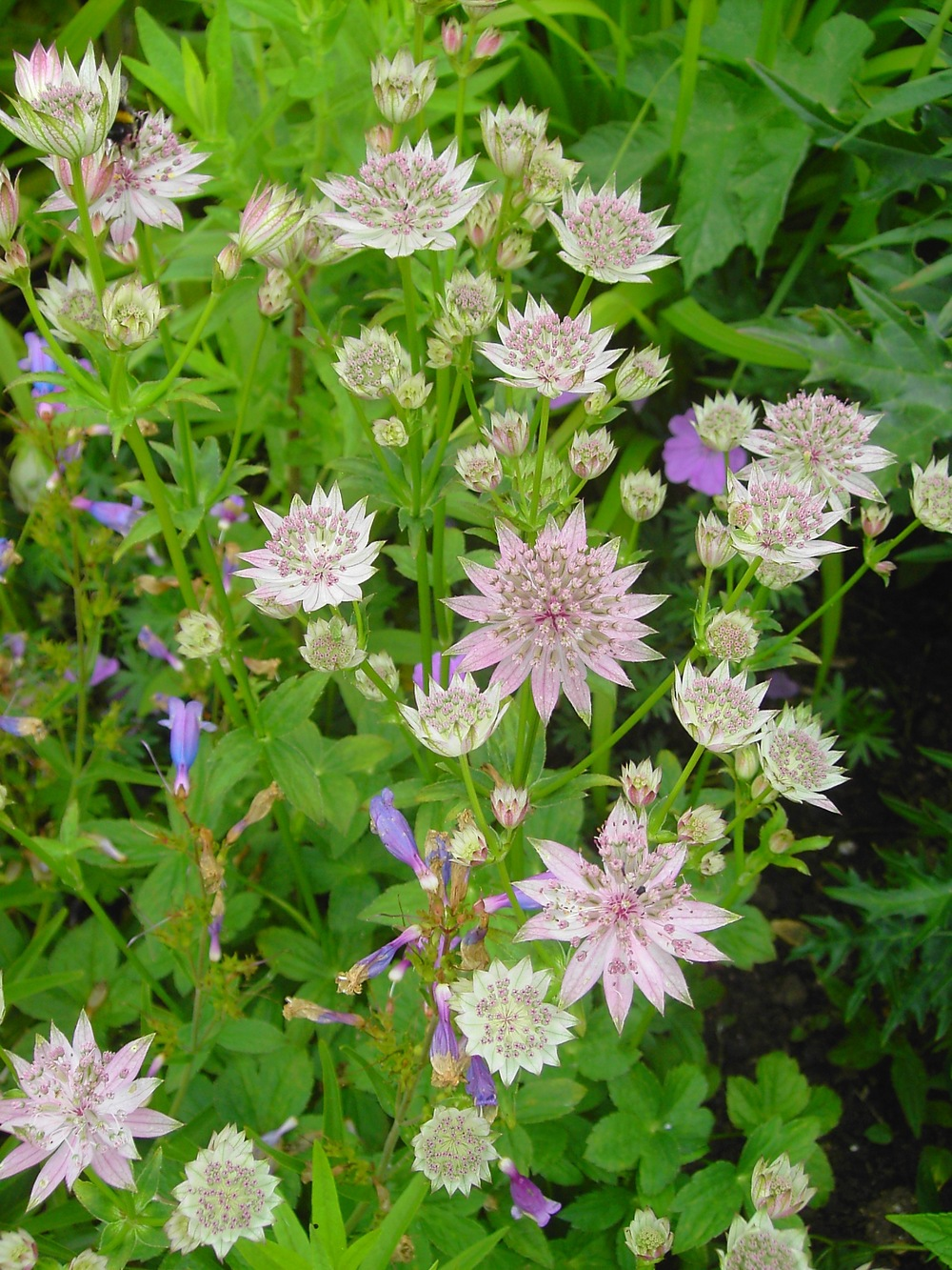 Astrantia major pink form