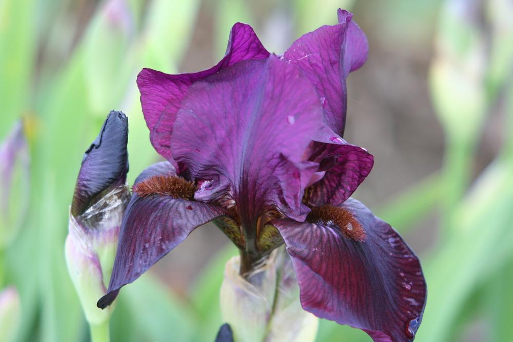 Iris 'Langport Wren'