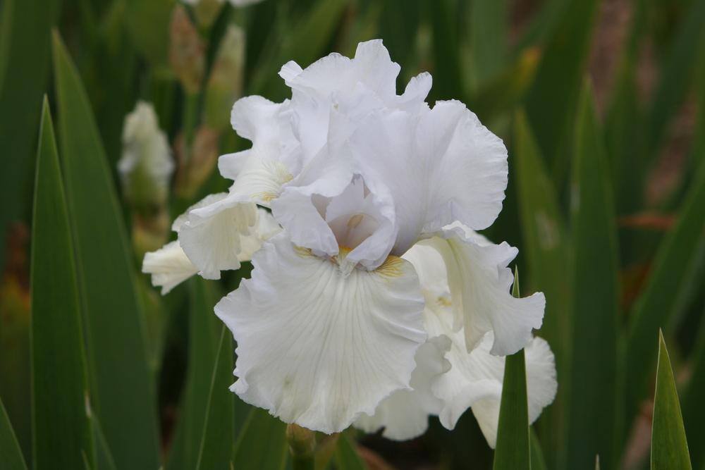 Iris 'Madeira Belle'