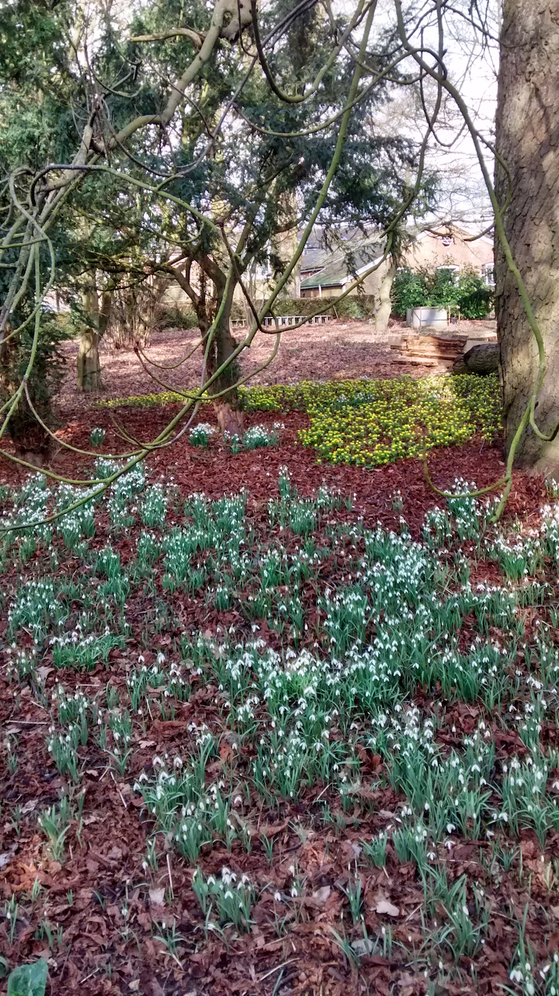 Breathtaking drifts of snowdrops and aconites in woodland outside the walled garden