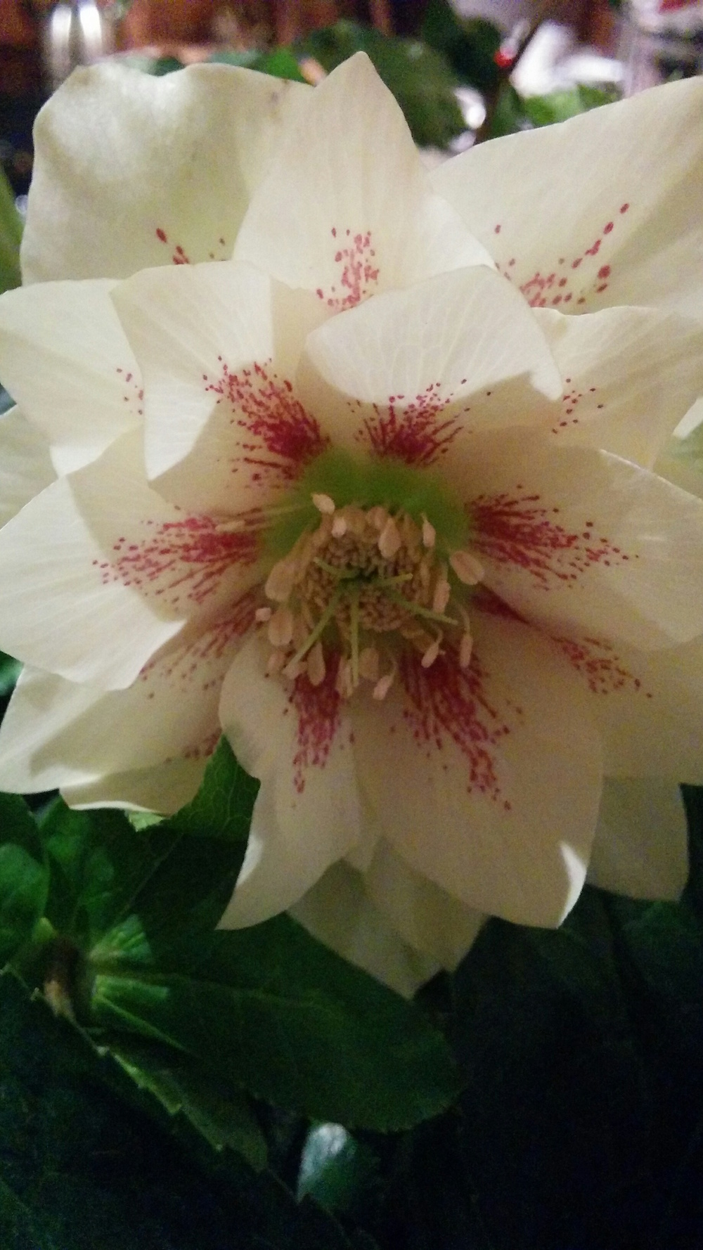 Hellebore x hybridus double cream speckled