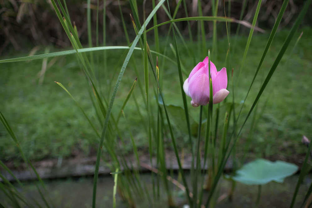 lotus-flower-zen-eric-rabena
