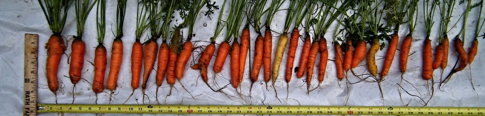 Carrots - Seed Haven comparison.jpg