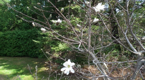 First magnolia blooms May 7, 2015