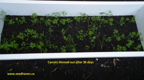 Carrots thinned out in Seed Haven - planted May 11
