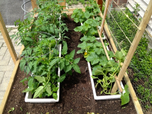 Tomatoes and cucumbers in Papa Sams Seed Haven garden