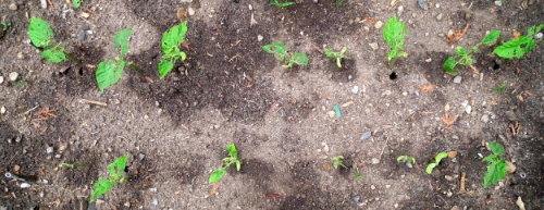 Second bean planting in control garden after 10 days