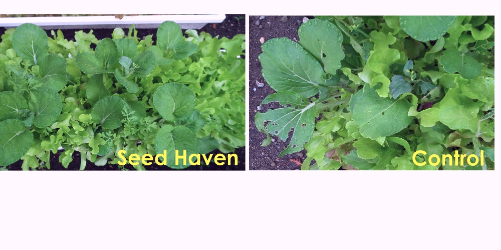 Mesclun showing damage outside Seed Haven