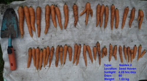 Carrots harvested from Seed Haven