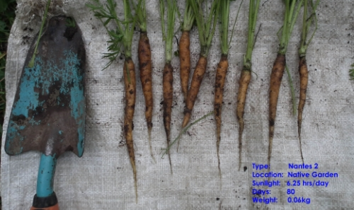 Carrots from unprotected control garden