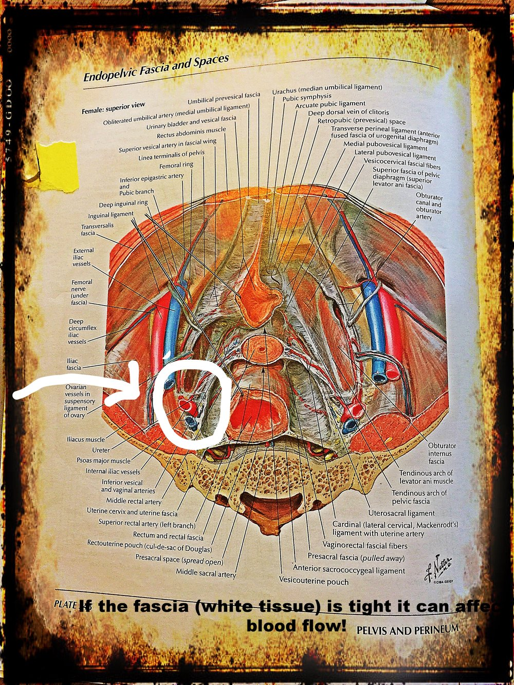 Special thanks to Dr. Frank Netter for spending his life creating such amazing anatomy drawings for geeks like me!