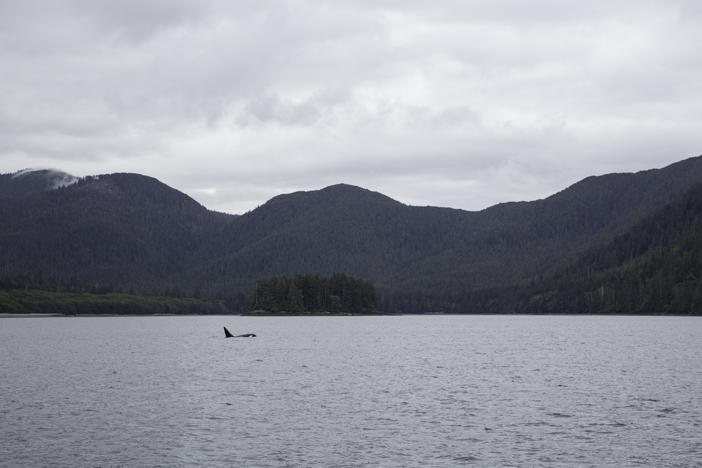 A male orca cruises north along the archipelago.