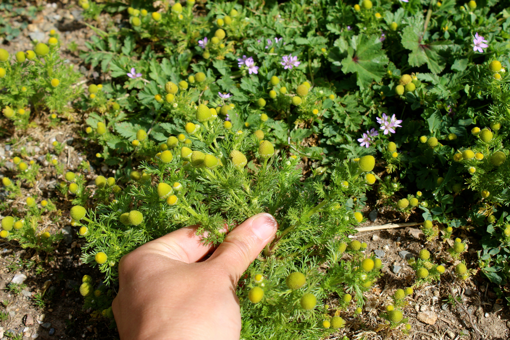 Pineapple weed is easily uprooted from the ground.