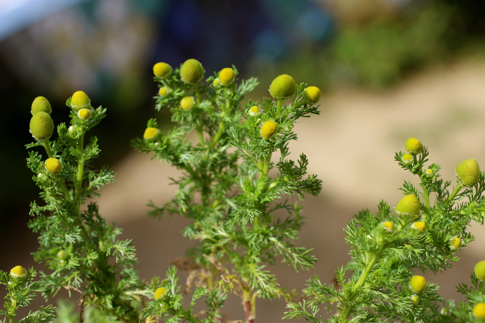 Wild chamomile, or pineapple weed grows almost everywhere and is very distinctive.