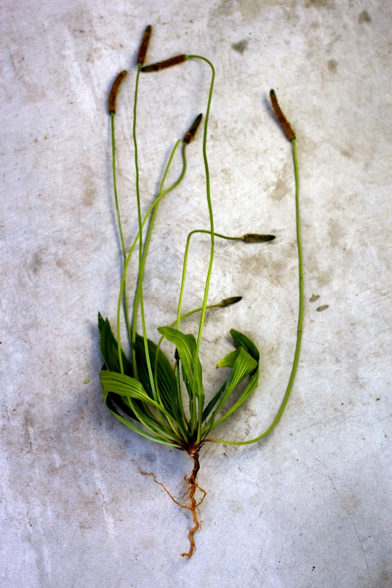 Entire  Plantago lanceolata,  complete with leaves, seedpods and roots.