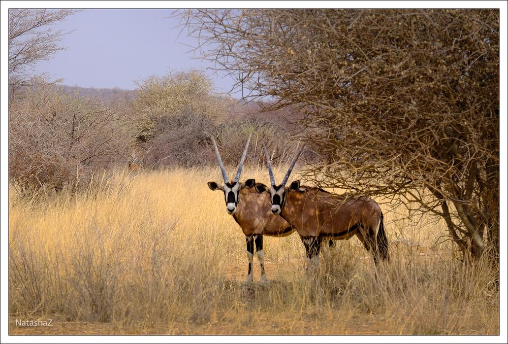 Oryxantilope bzw. Gemsbok