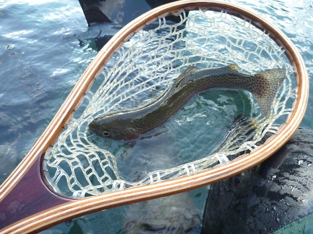 A fish in a net at Henderson Springs Ranch in California.