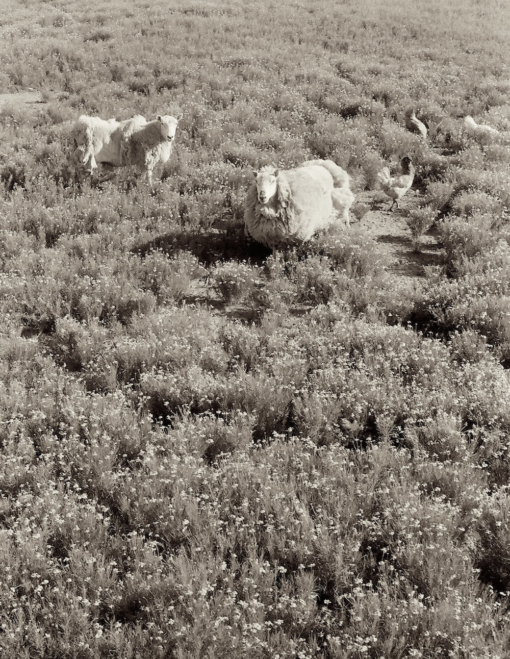 Sheepish Sm.jpeg