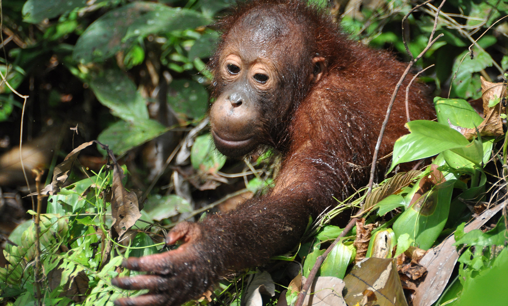 Animals_Orang_1_web.jpg