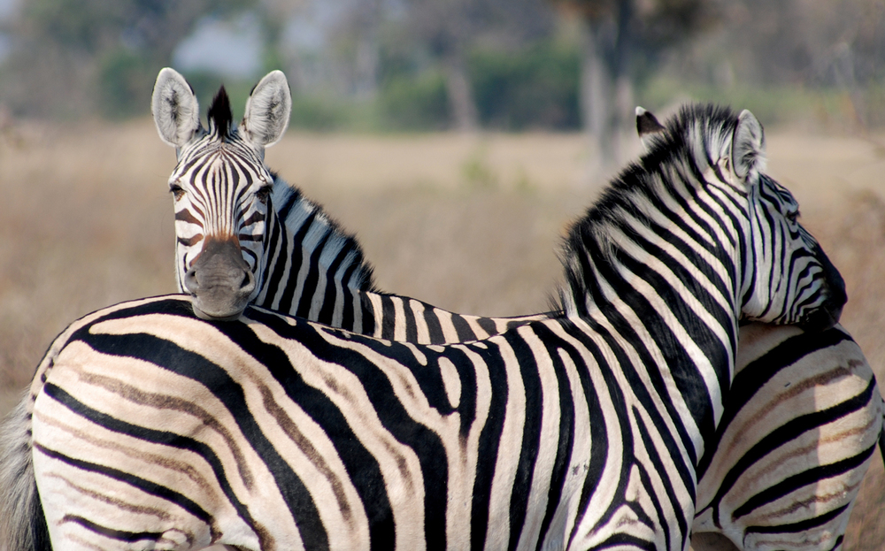 Animals_Zebra_1_web.jpg