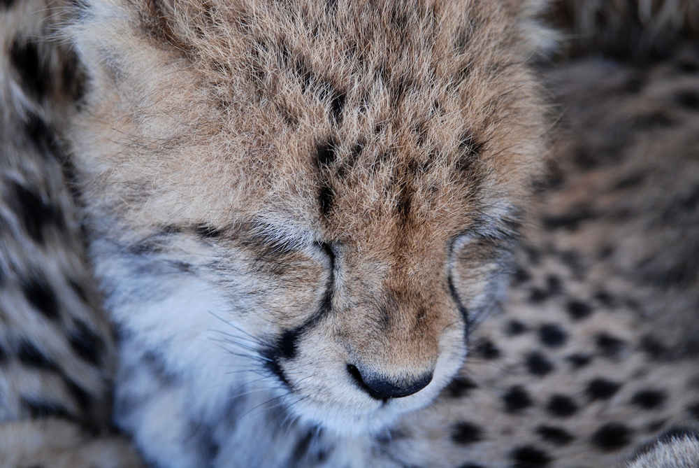 Animals_Cheetah_1_web.jpg
