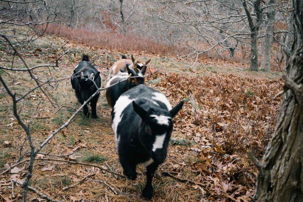 vasilko_goat-20 copy.jpg