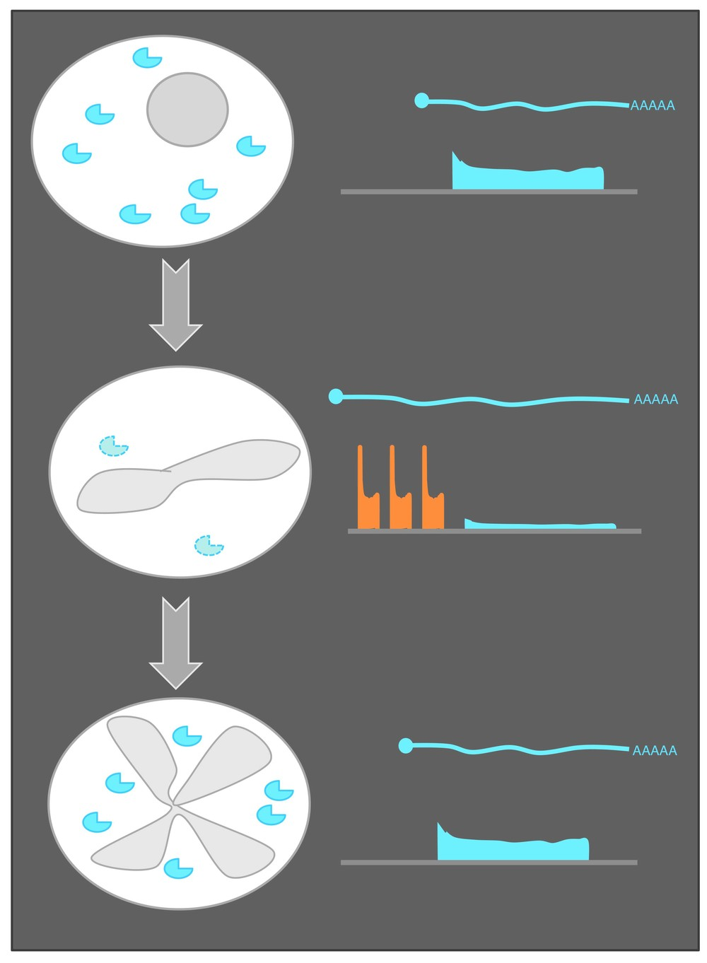 Click here for more on uORFs and transcript isoforms in meiosis