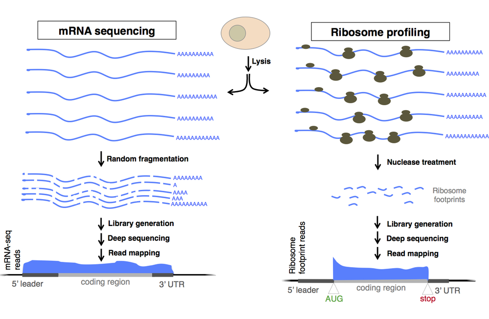 What is ribosome profiling?  Nuclease digestion of translating ribosomes protects only mRNA regions (footprints) being actively decoded by the ribosome ( Steitz, Nature, 1969 ;  Ingolia et al., Science, 2009 ). These footprints can be collected in vivo from cells and sequenced to define coding regions and quantify new protein synthesis. Shown is a comparison of the method with mRNA sequencing, which defines the positions of full transcripts, but cannot specifically identify coding regions.