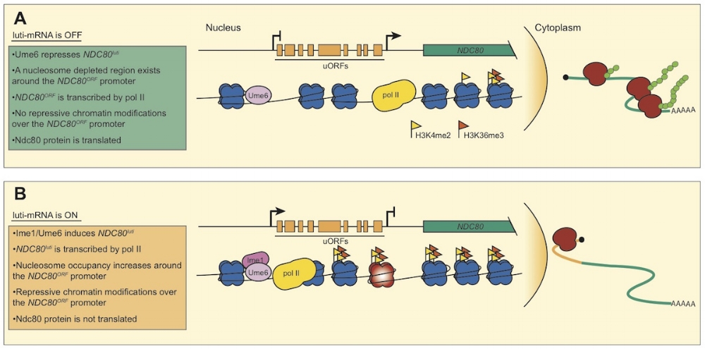 Schematic description of luti-mRNA gene regulation at the  NDC80  locus