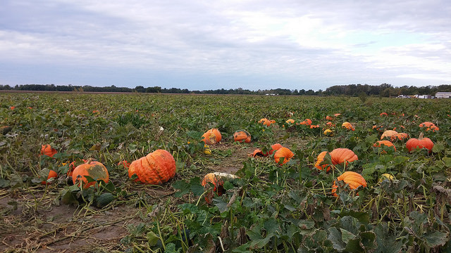 A field of large pumpkins that have nothing to do with this poetry, but kinda are their own sort of poetry.
