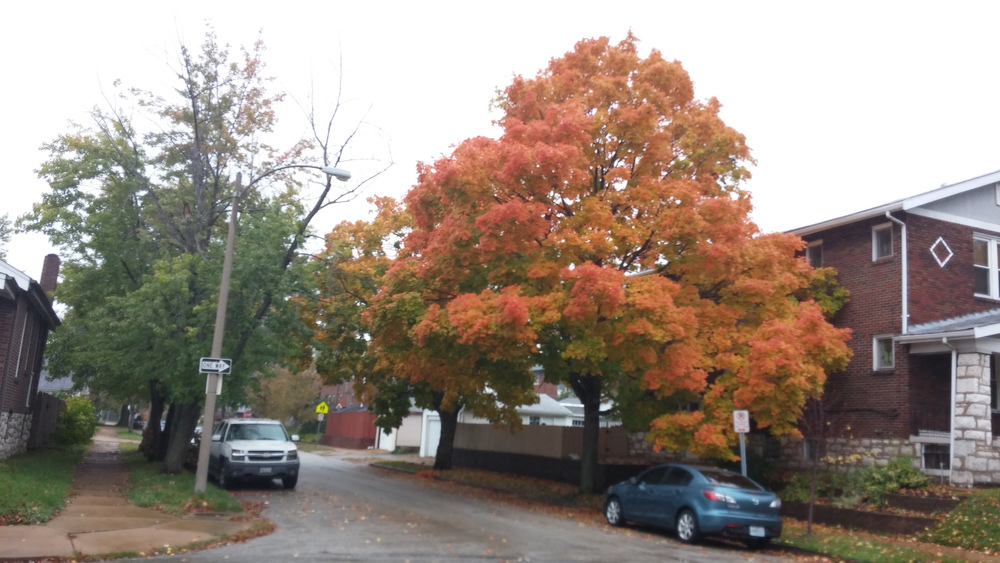 The trees are turning! This is one of my favorites in the neighborhood.