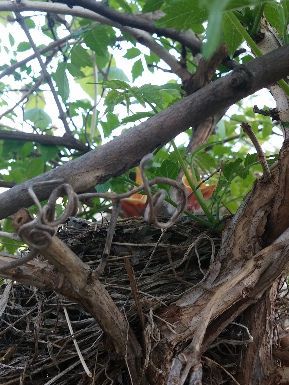 Baby robins! Eric pointed these guys out to me on a fence near our house.